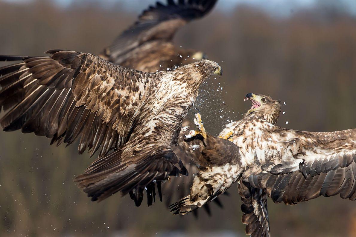 Zwei Seeadler kämpfen