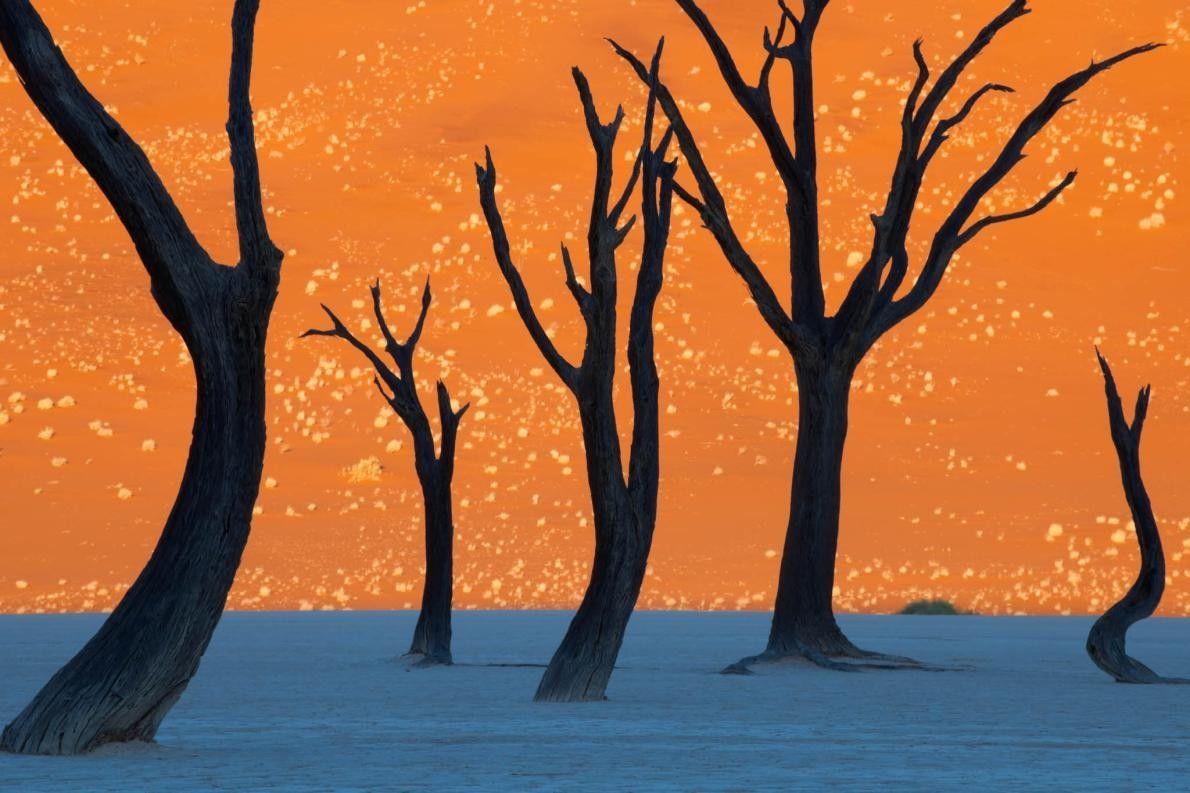 Kameldornbäume in Namibia
