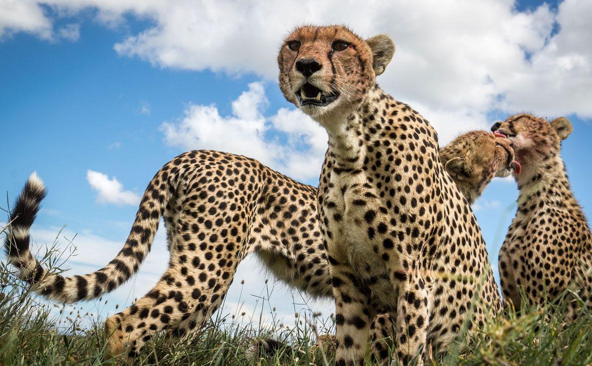 Geparden.