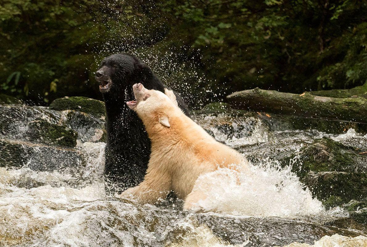 Zwei Bären kämpfen