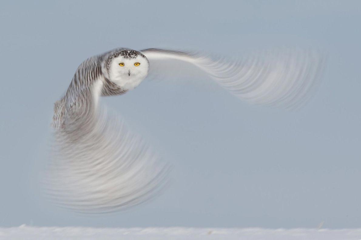 Schnee-Eule