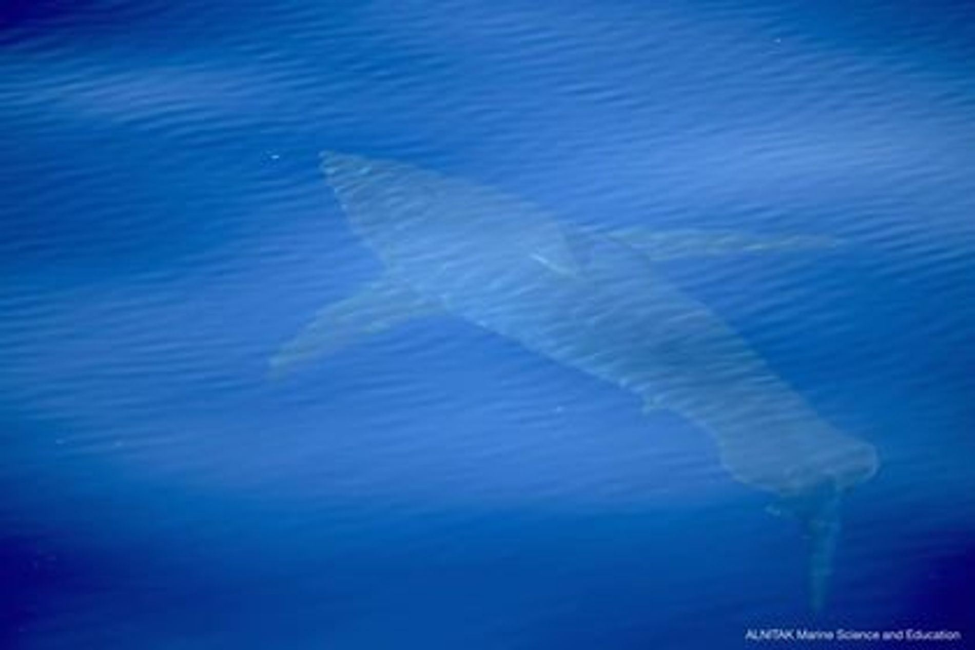Fünf Meter langer Spitzenprädator: Der Weiße Hai vor der Südküste Mallorcas.