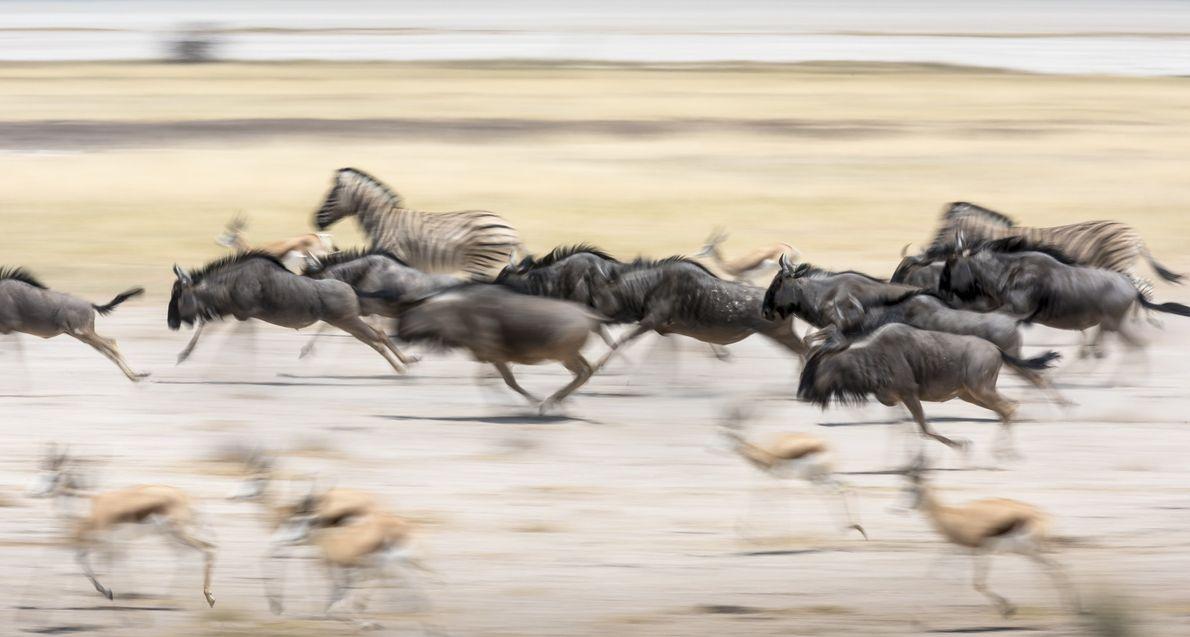 Nachdem sie langsam zu einem Wasserloch im ausgetrockneten Etosha-Nationalpark in Namibia getrottet waren, stürzen Gnus, Springböcke ...