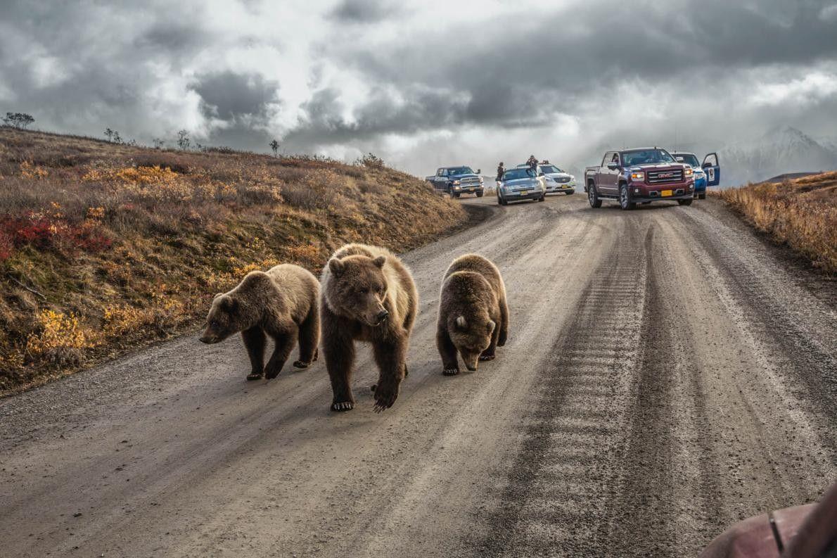 Grizzlybärmutter und ihre Jungen auf einer Straße