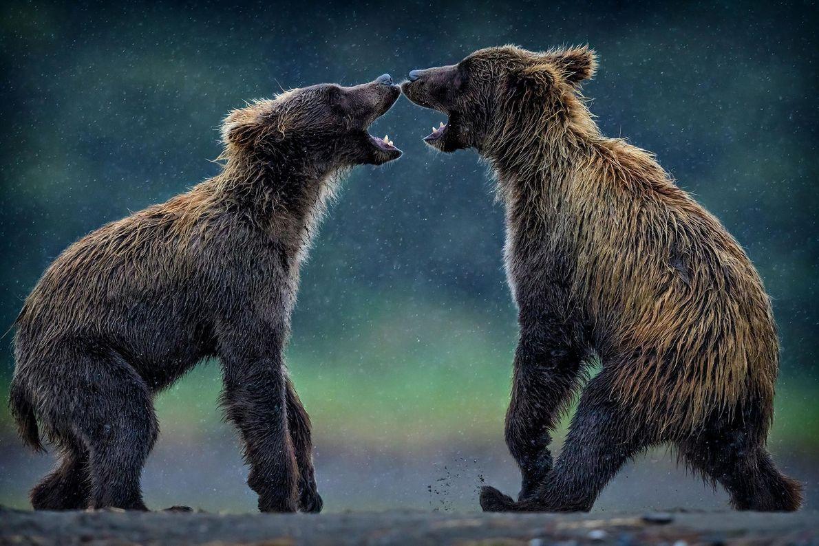 Grizzlybären. Lake Clark National Park and Preserve, Alaska, USA