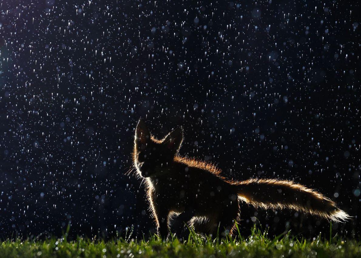 Ein junger Fuchs im Regen.
