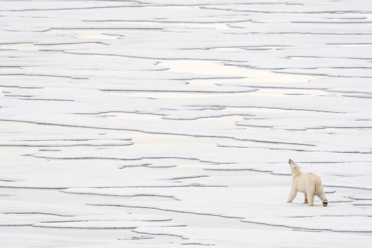 Eisbär. Spitzbergen, Norwegen.