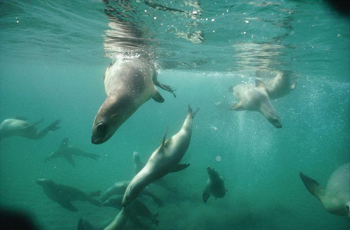 Bild eines Neuseeländischen Seelöwen