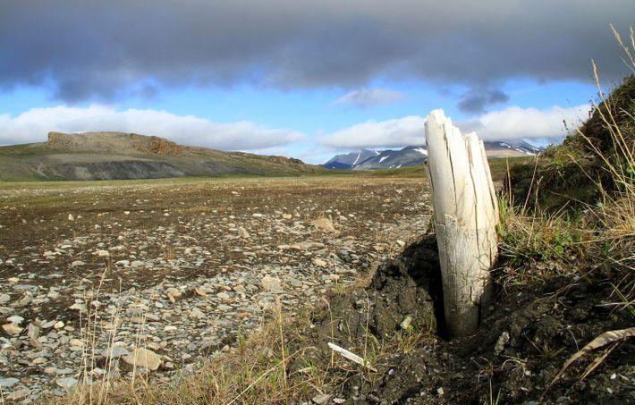 Stoßzähne von Wollhaarmammuts tauchen manchmal aus dem Permafrost auf der Wrangelinsel im Nordosten Sibiriens auf.