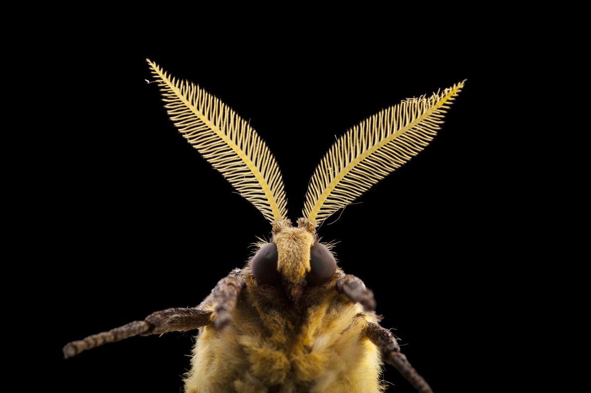 Dieser Falter der Art Argema mimosae zählt zu den Pfauenspinnern. Die Tiere haben kein Mundwerk, da ...