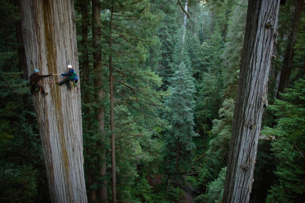 Botaniker auf Riesenmammutbaum im Redwood-Nationalpark