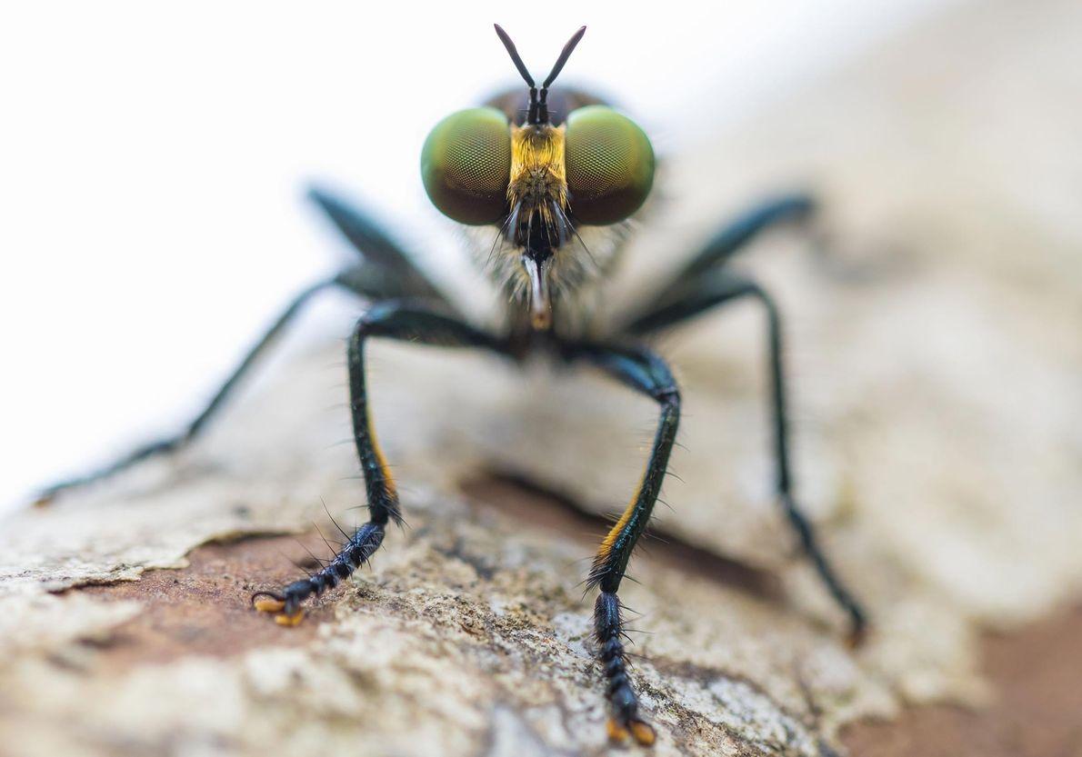 Fliege. Inaukina, Central Province, Papua-Neuguinea