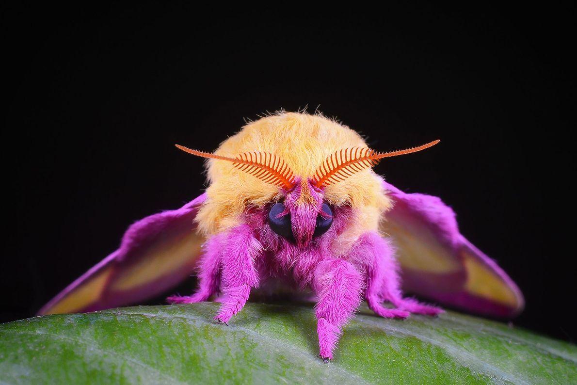 Pfauenspinner der Art Dryocampa rubicunda