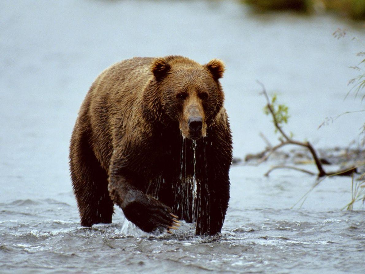 Ein Braunbär ist im Kodiak National Wildlife Refuge auf einer Insel vor der Südküste Alaskas auf …