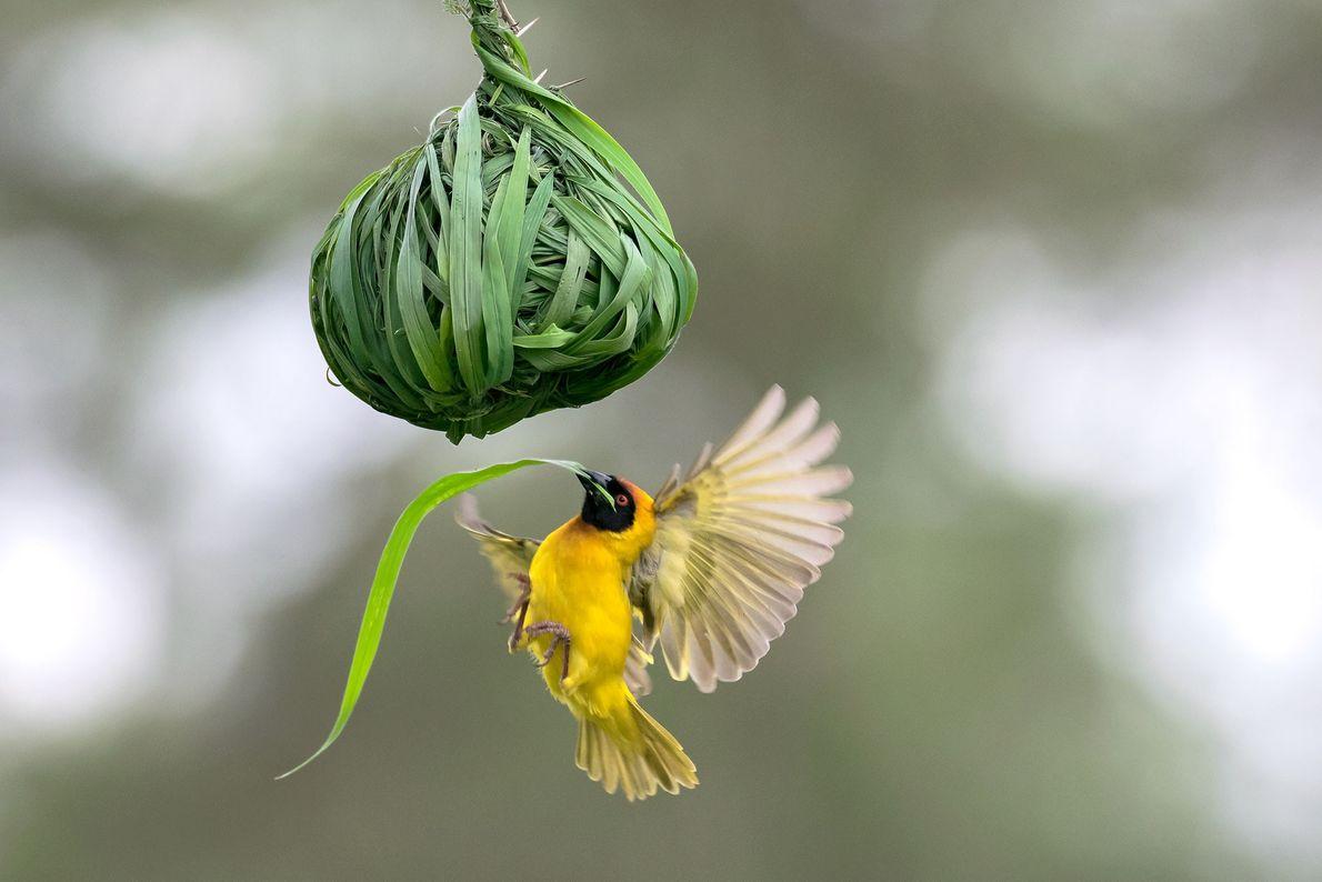Webervogel.