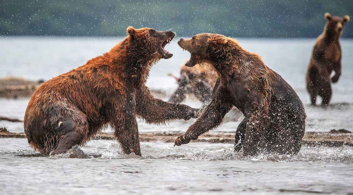 Braunbären. Kamtschatka, Russland.