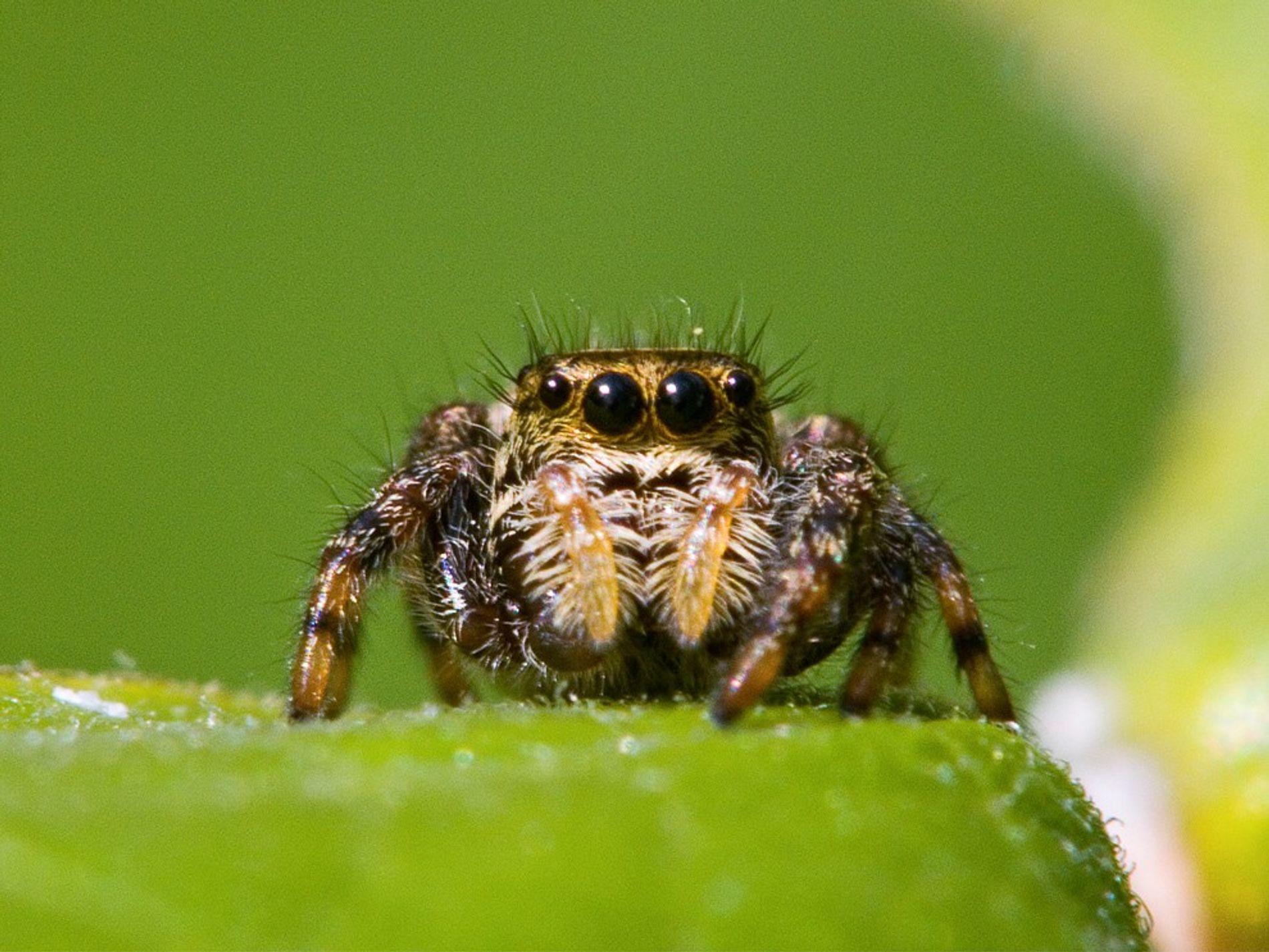 Ein ausgewachsenes Weibchen der Springspinnen-Art Phidippus clarus.