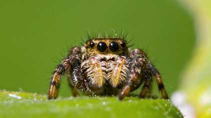 Kleine Spinnen mit riesigen Gehirnen