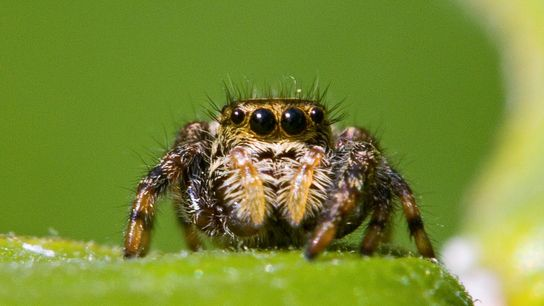 tiny spider brains expand into legs