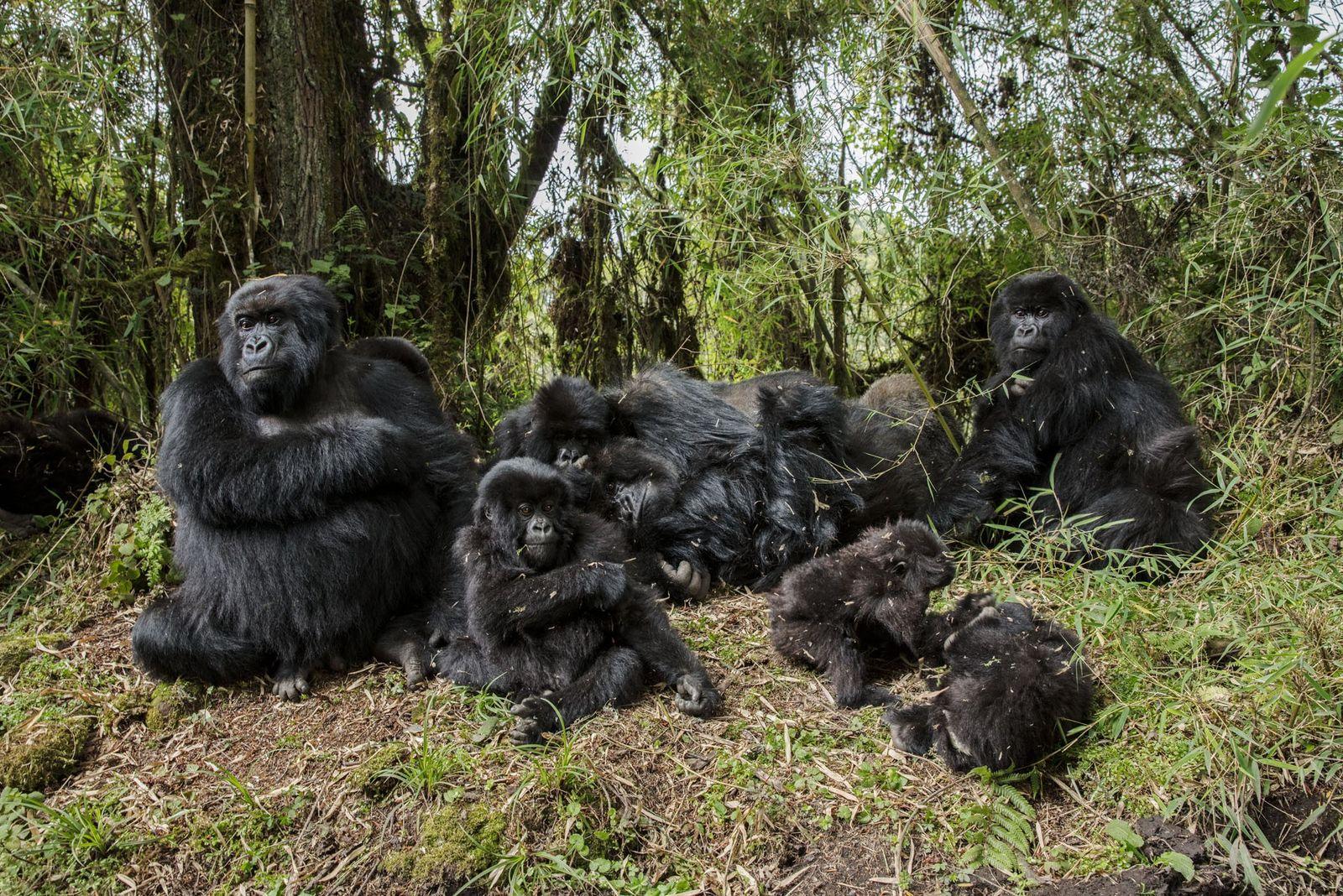 Hätte Dian Fossey die Gorillas und ihren Lebensraum nicht so erbittert verteidigt, würden diese Affen, die ...