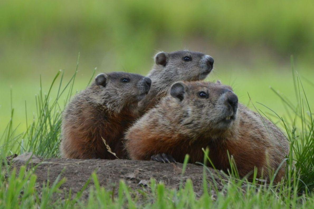 Eine Murmeltiermutter mit Jungtieren.