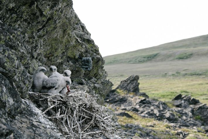 Gerfalken verschlingen Beute im Nest