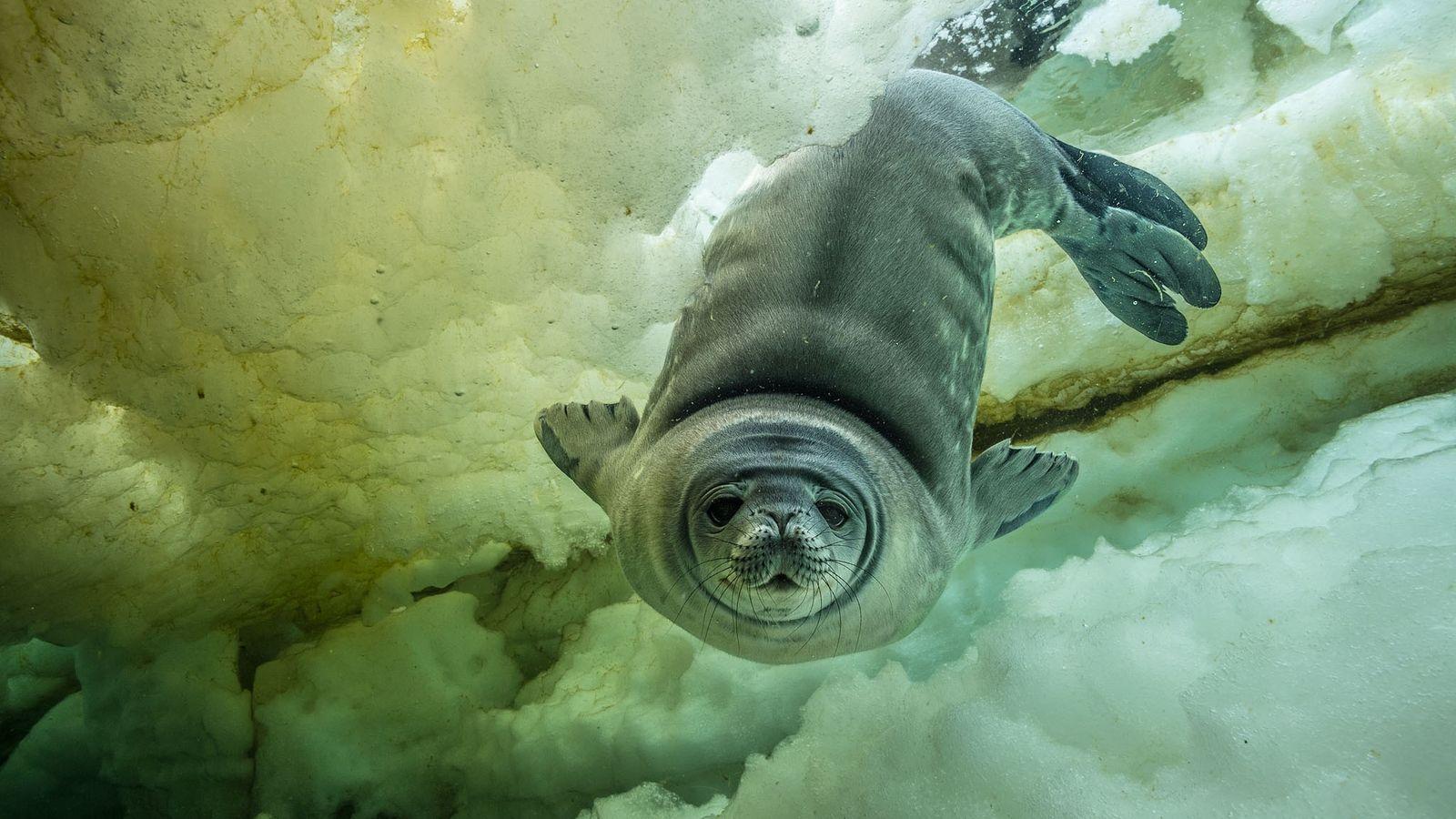Eine neugierige Weddell-Robbe, erst ein paar Wochen alt, kommt für eine Nahaufnahme zur Kamera. Es könnte ...