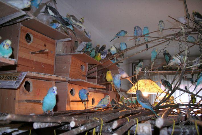 Wellensittichschwarm in einer Wohnung: Animal Hoarder sind meist nicht mehr in der Lage, minimale Hygiene- und ...