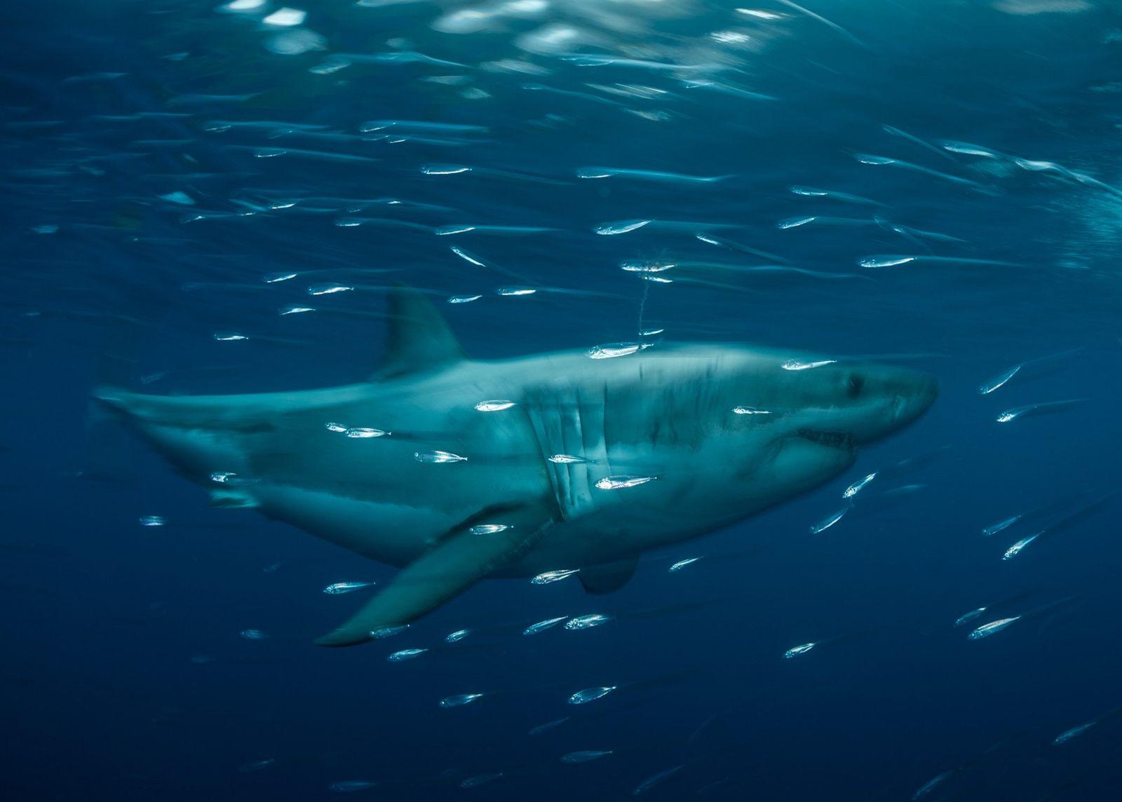 Ein weißer Hai schwimmt im Isla-Guadalupe-Biosphärenreservat, 260 Kilometer vor Baja California. Dies ist einer von zwei ...