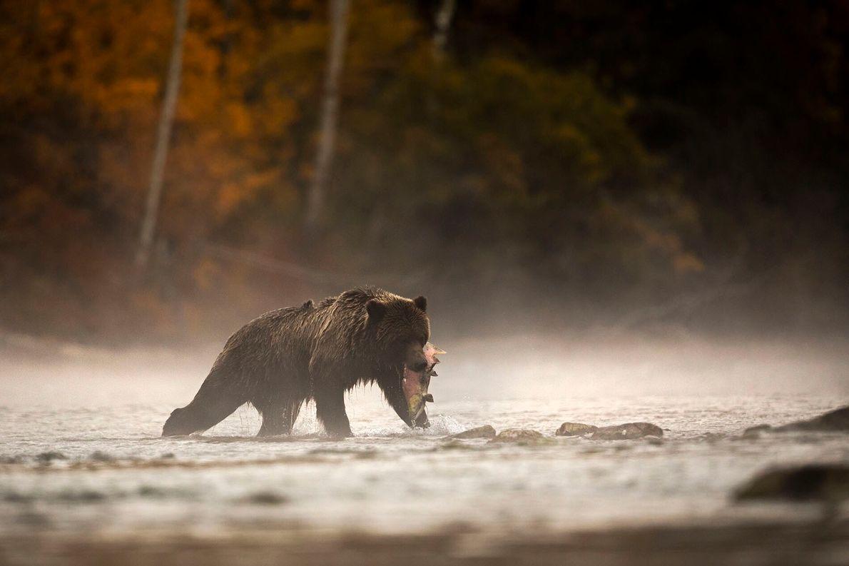 TIERBEOBACHTUNGEN  Die Zentralküste von British Columbia beherbergt nicht nur eines der größten gemäßigten Regenwaldgebiete der Erde: Sie ...