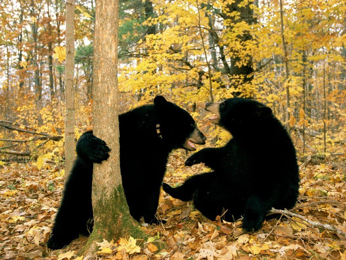 Der Schwarzbärennachwuchs kommt im Winter zur Welt. Ihren Bau verlassen die Jungen aber erstmals im Frühling. …