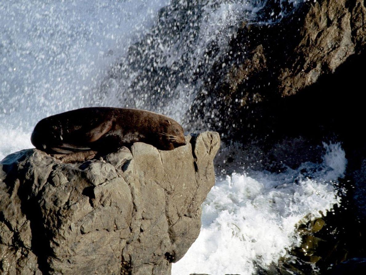 Südlicher Seebär