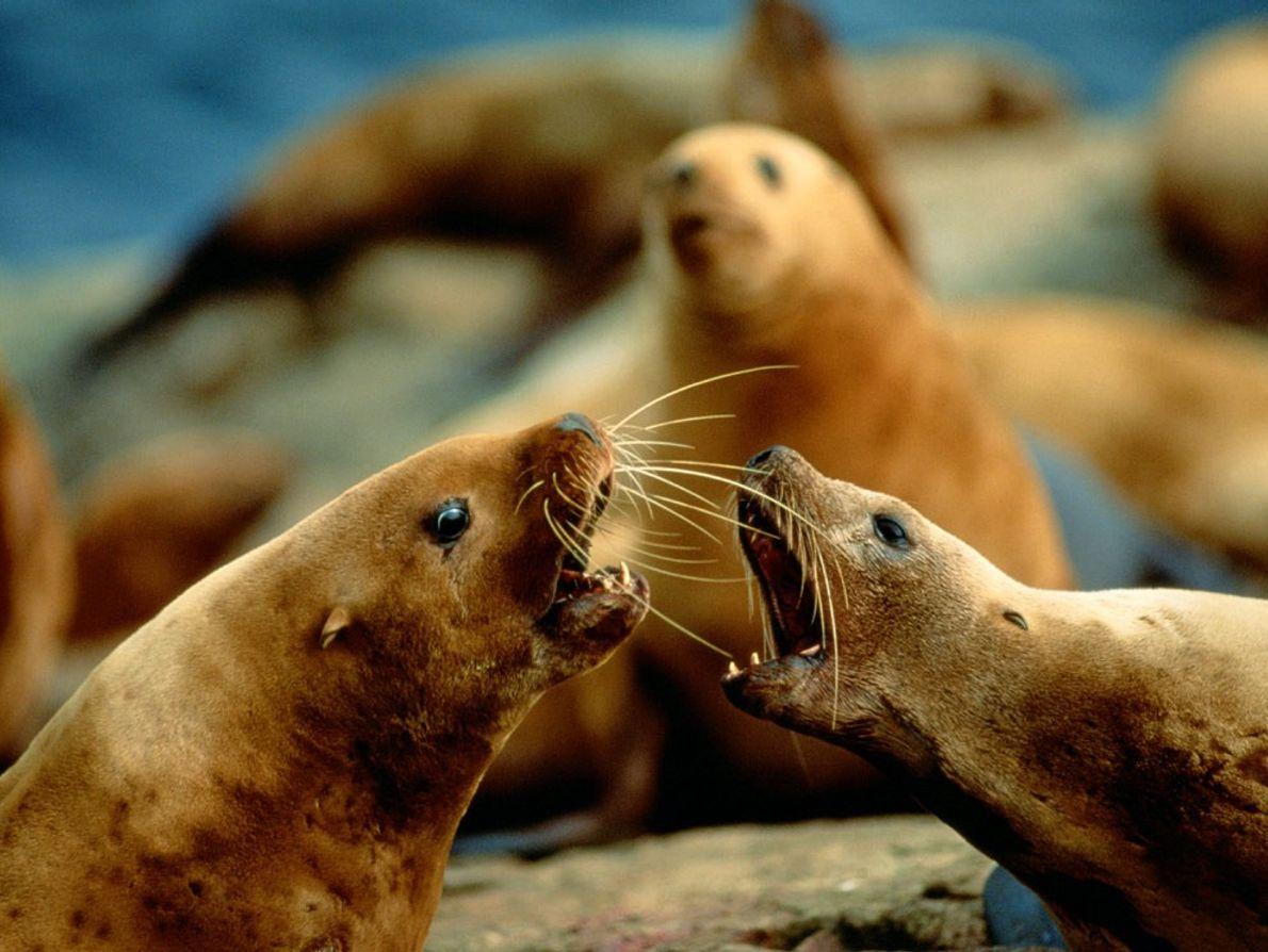 Stellerschen Seelöwen
