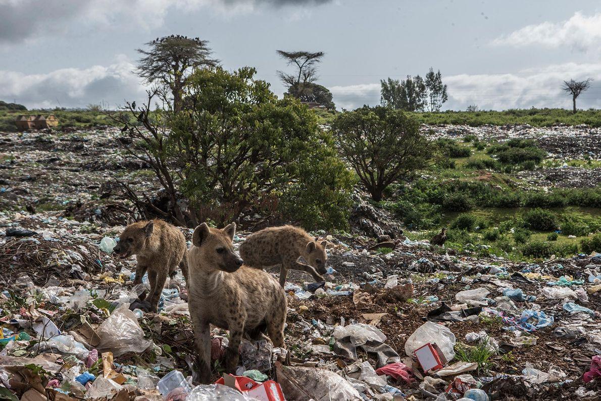 Hyänen auf Mülkippe