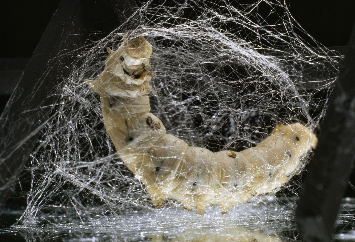 Die Raupe eines Seidenspinners ist dabei, einen Kokon zu spinnen. Für die Herstellung von 90 Zentimetern ...