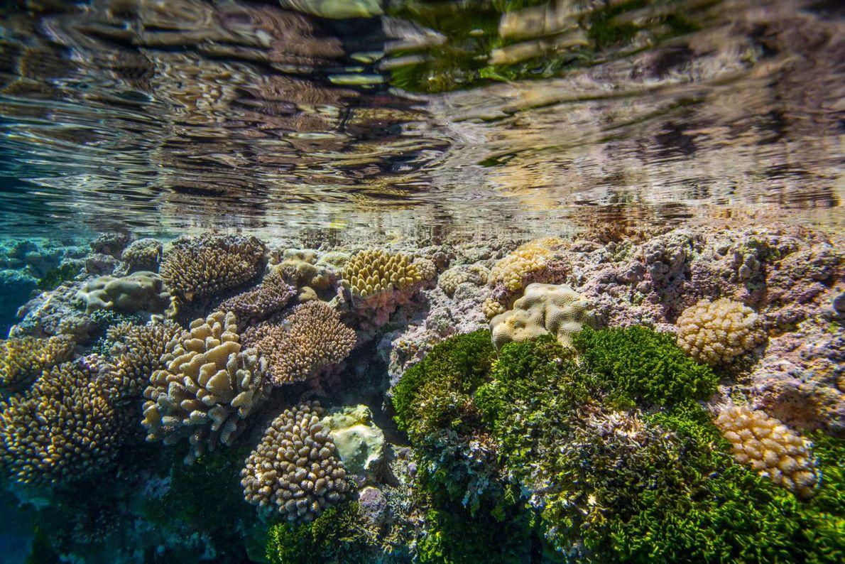 Korallen und Algen