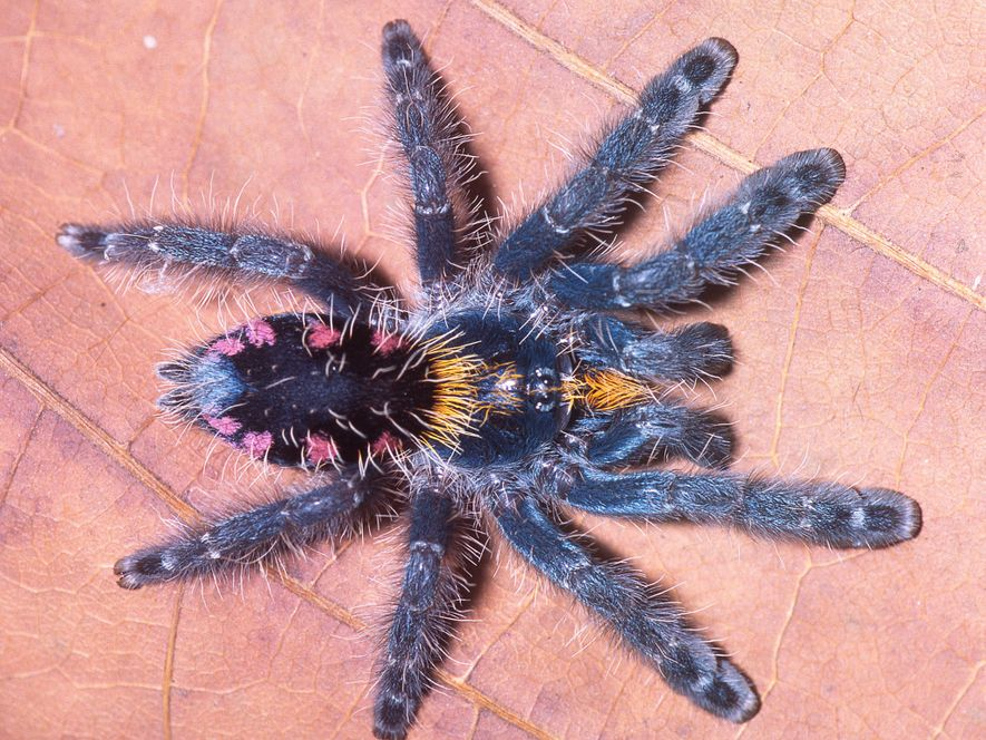 Die neu entdeckte, scheinbar farbig angesprühte Tarantelart Typhochlaena costae ist einer neuen Studie zufolge eine von ...