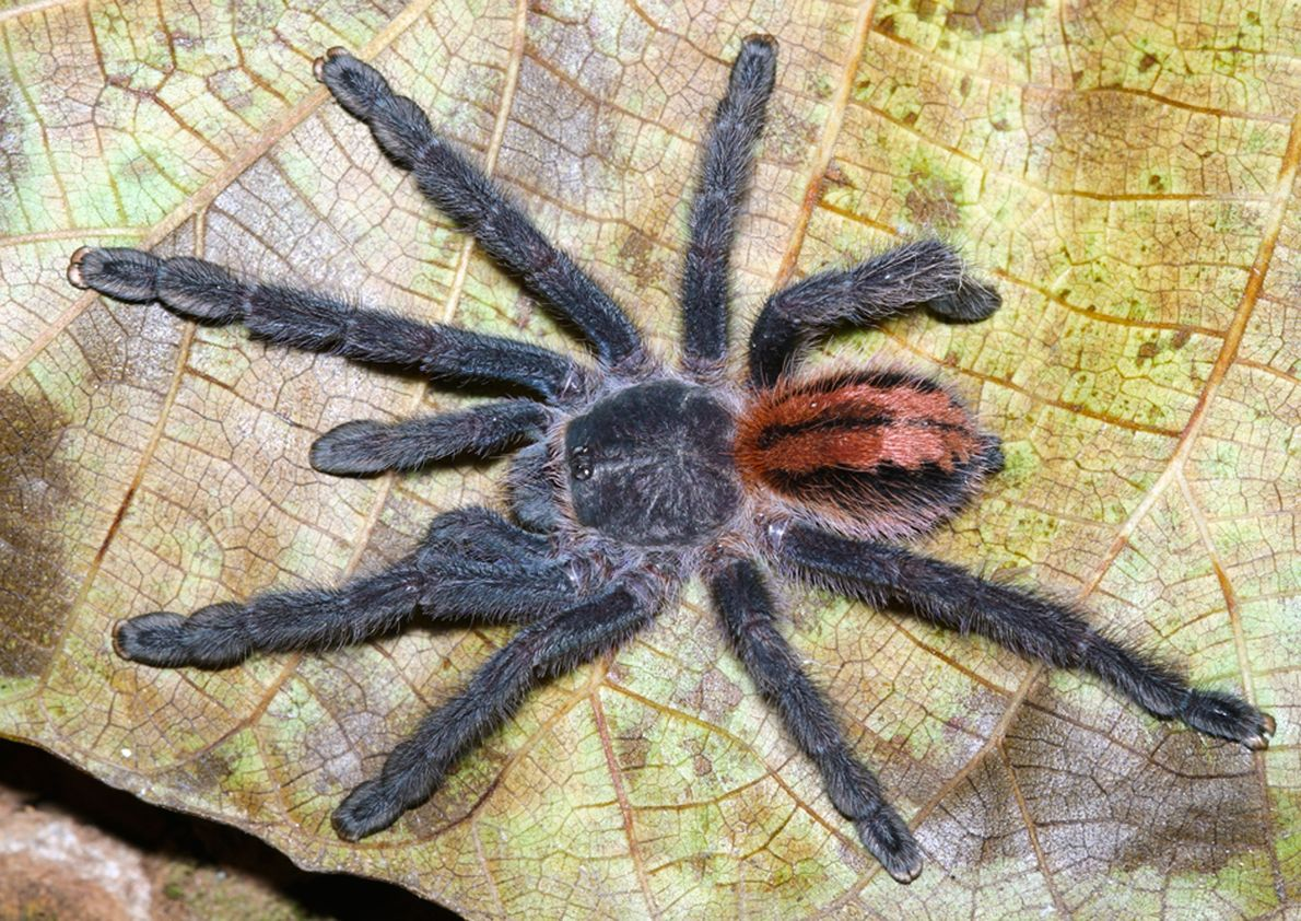 Bild einer Tarantel