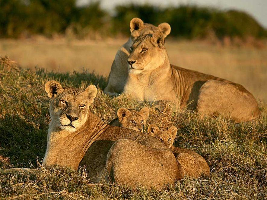 Drei Löwinnen und ihr Nachwuchs ruhen sich im Gras des Okavangodeltas in Botswana aus. Die Weibchen ...