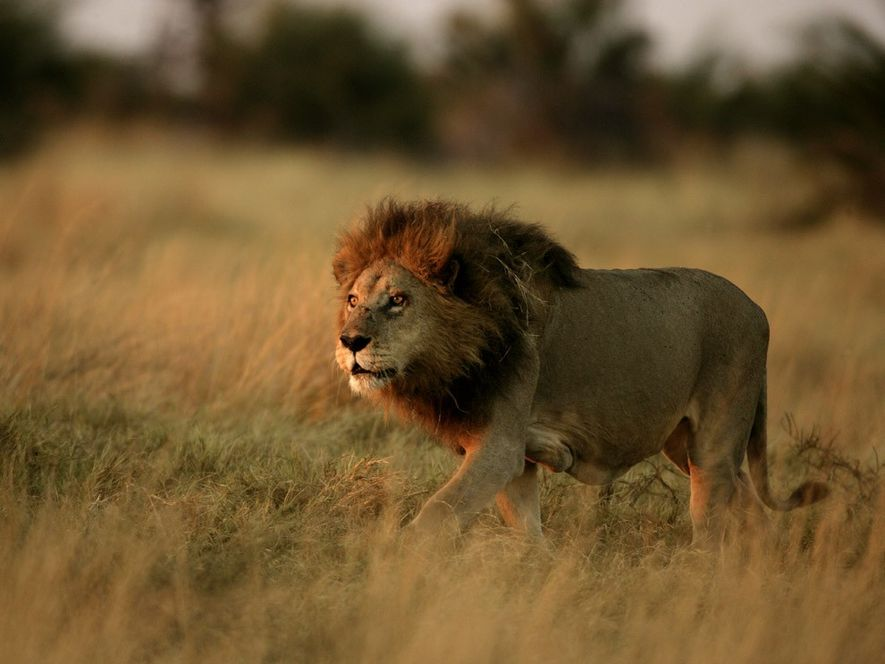 Ein ausgewachsener Löwe läuft durch die Graslandschaft des Okavangodeltas in Botswana. Biologen vermuten, dass sich die ...