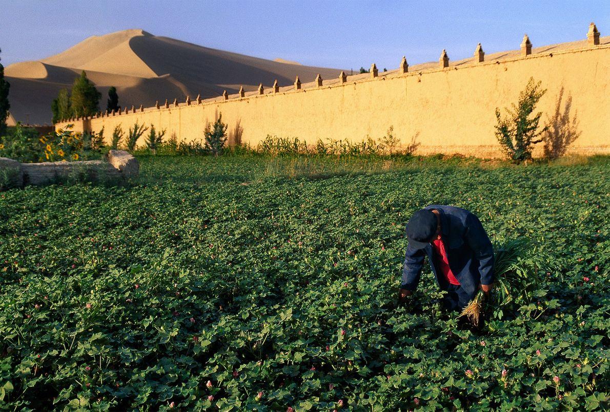 Bewässerte Baumwolle, China