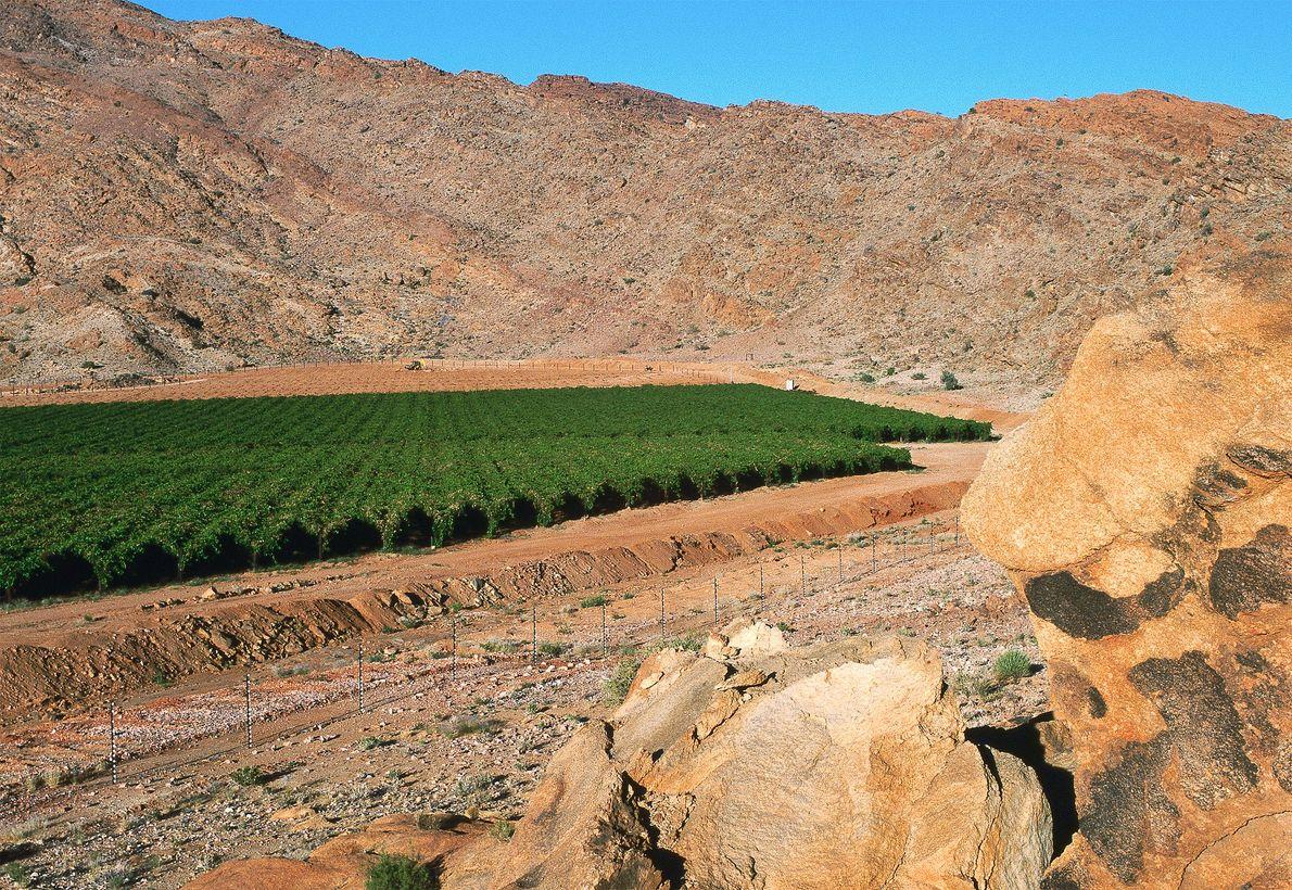 Wüsten-Weingärten II, Kalahari