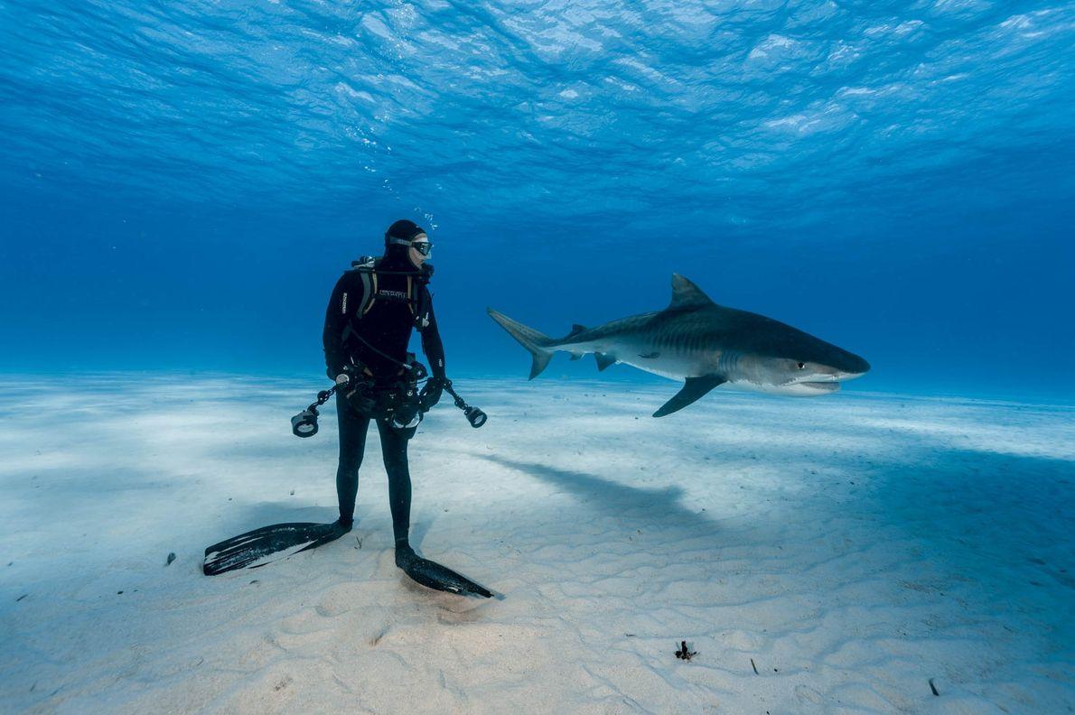 Tigerhai  und Taucher