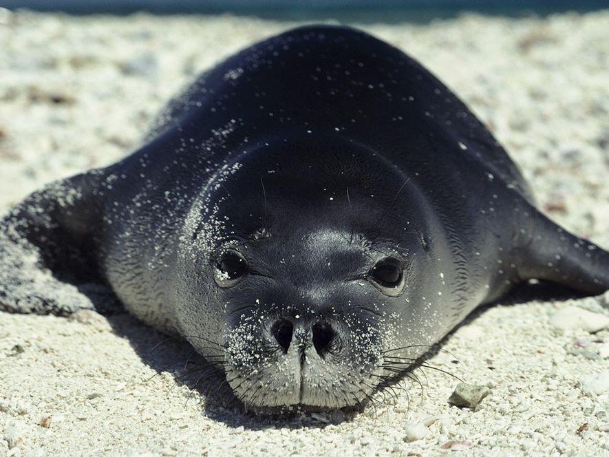 Die meisten Robben sind in kühleren Gegenden zu Hause. Die Hawaii-Mönchsrobbe zieht hingegen die warmen Sandstrände ...