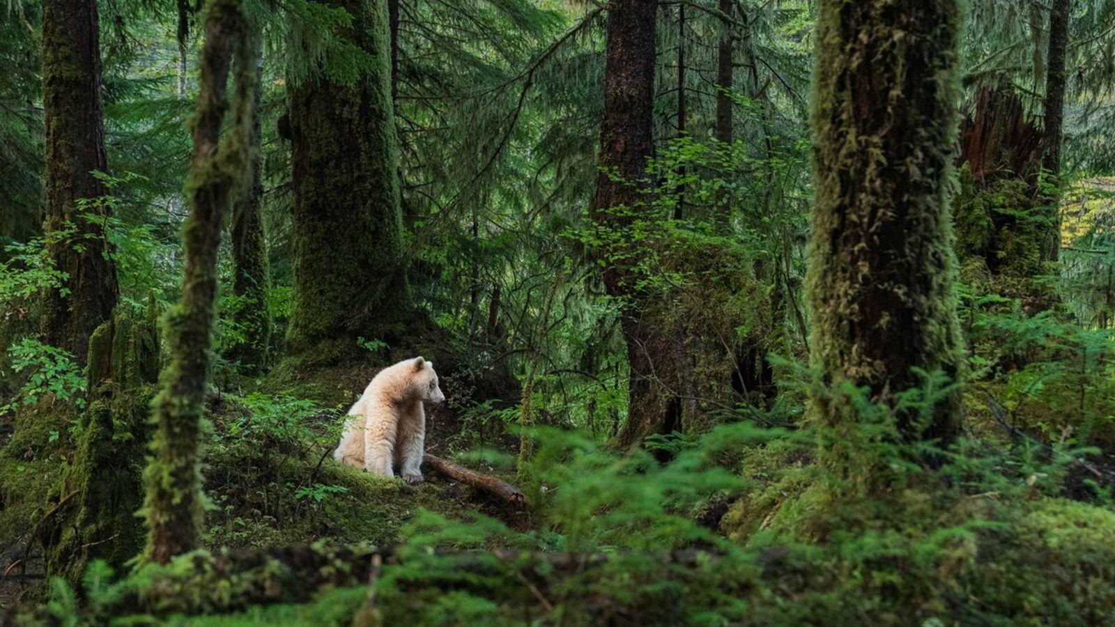Der Kermodebär, der in Sm'algyax, der Sprache der Tsimshian, als mooksgm ol' bezeichnet wird, lebt in ...