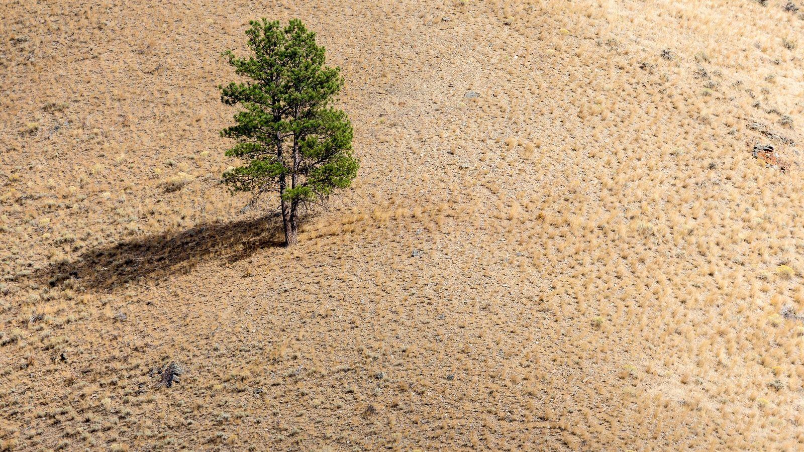 Einzelner Baum auf einem Hügel, später Nachmittag.