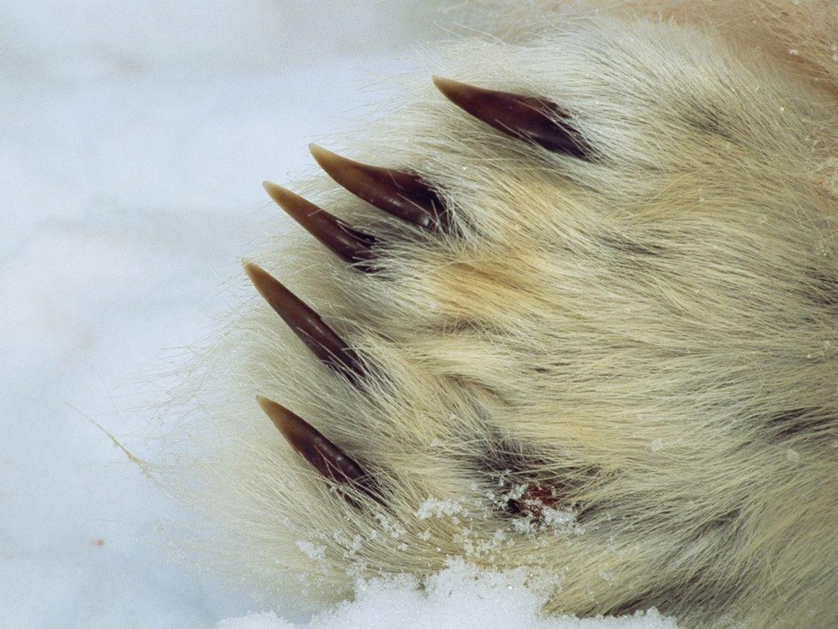 Eisbären haben ein dichtes Fell und scharfe Klauen. Durch ihr Fell finden sie auf dem rutschigen …