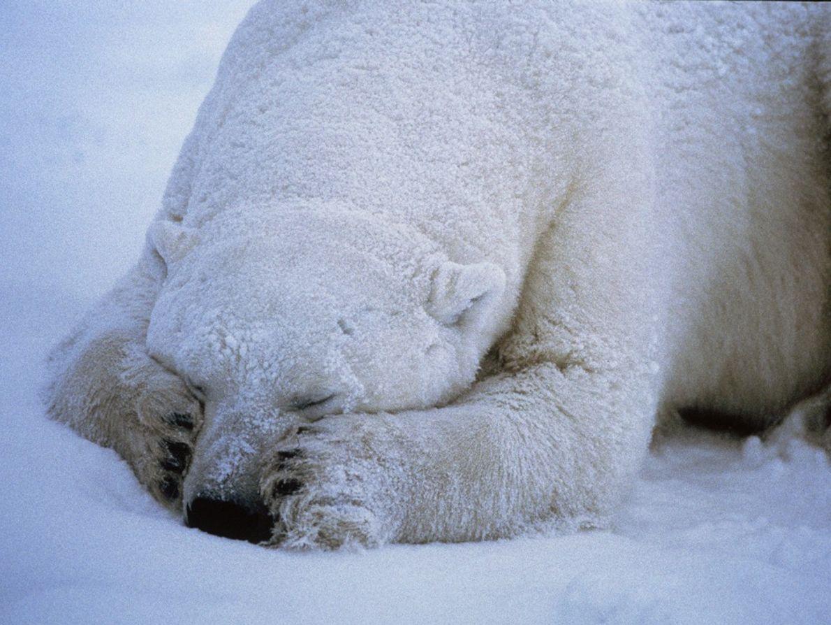Polar Bear Sleeps Soundly