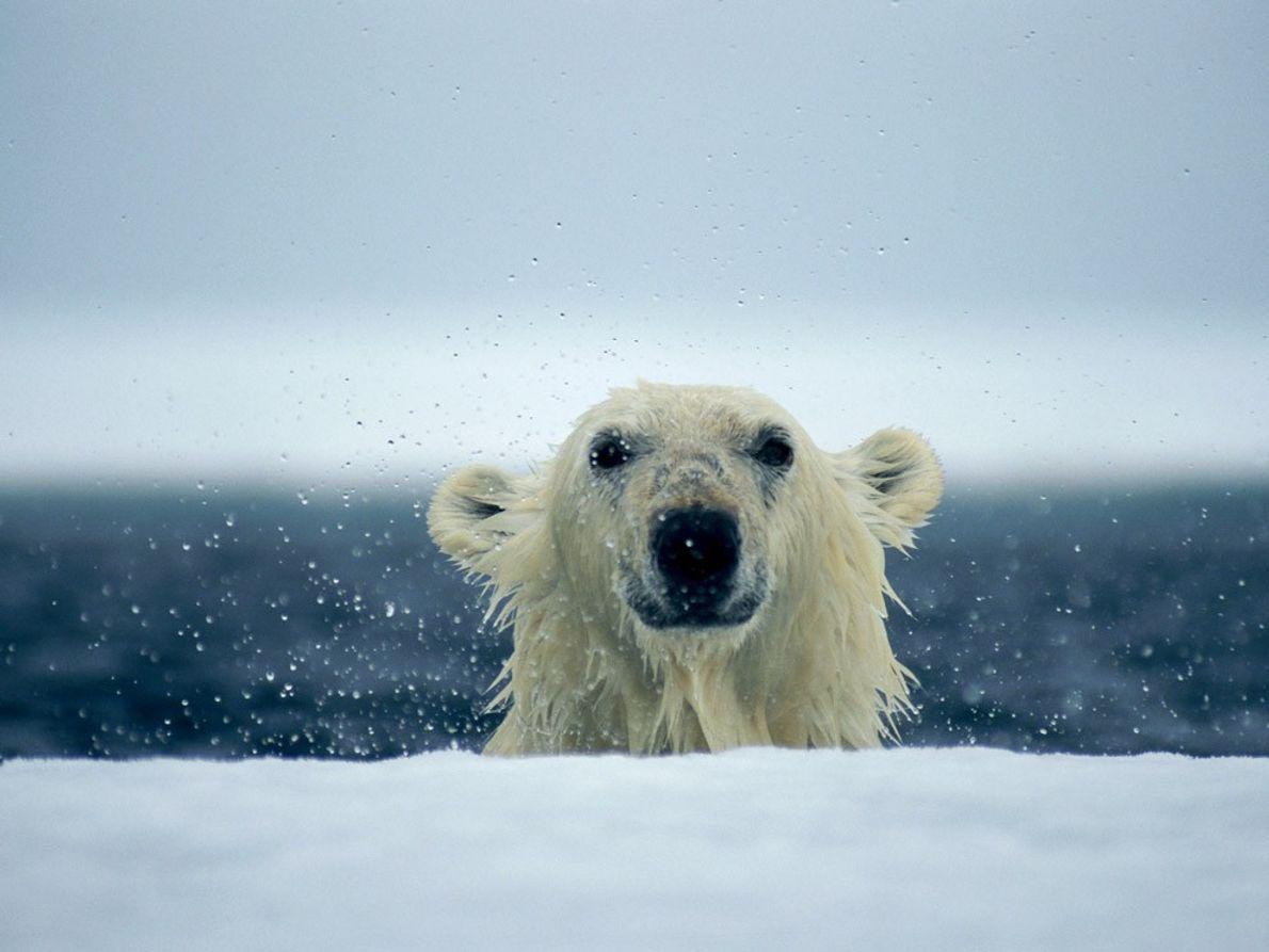 Dank der Schwimmhäute zwischen ihren Zehen und ihren kräftigen Muskeln sind Eisbären ausgezeichnete Schwimmer. Ihre bevorzugte …
