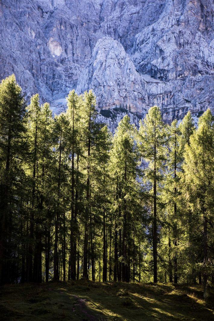 Auf dem Vršič leuchten die Bäume im sanften Licht der Sonne.